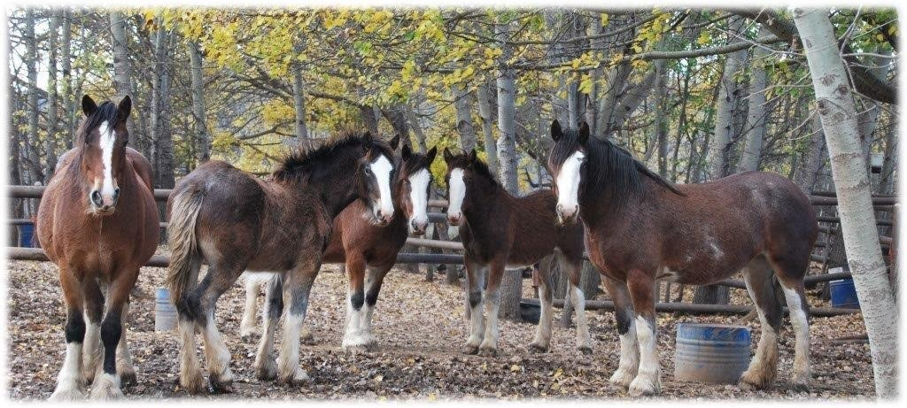 clydesdaleandshirehorses (26)